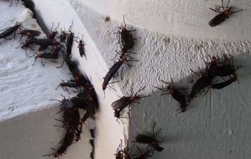 How to Deal with Love Bugs in Central Florida.